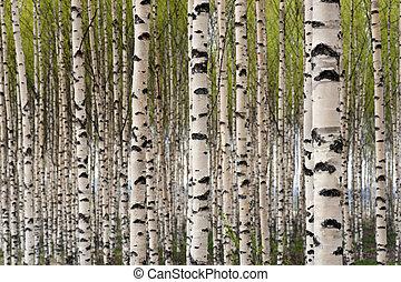 Birkenbäume