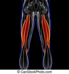 bizeps, femoris, 3d, koerperbau, muskel, abbildung, begriff, medizin