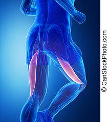 Bizeps femoris - menschliche Muskelanatomie.