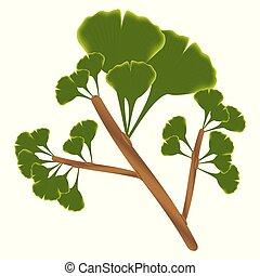 Blätter von ginkgo biloba.