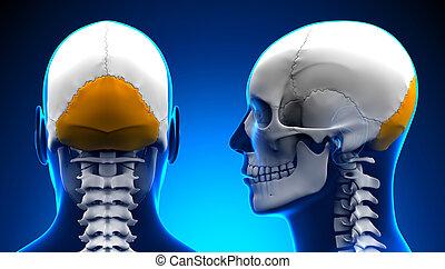 blaues, begriff, totenschädel, -, occipital, koerperbau, mann, knochen
