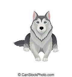 blaues, graue , freigestellt, wohnung, mantel, mächtig, sibirisch, hund, hintergrund., vektor, design, heiser, eyes., weißes, glänzend, liegen