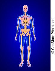blaues, koerper, skelett, render, überfliegen, menschliche anatomie, hintergrund, front, 3d, ansicht