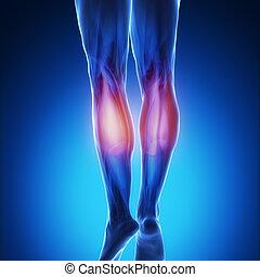 blaues, koerperbau, muskel, -, gastrocnemius