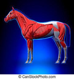 blaues, pferd, muskeln, -, koerperbau, hintergrund, equus