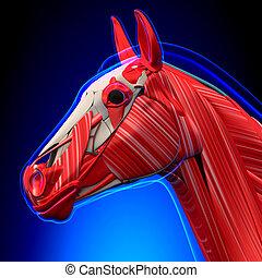 blaues, pferd, muskeln, -, kopf, koerperbau, hintergrund, equus