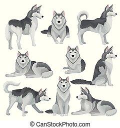 blaues, wohnung, verschieden, satz, graue , haustier, mantel, inländisch, sibirisch, hund, poses., vektor, heiser, daheim, eyes., glänzend, bezaubernd