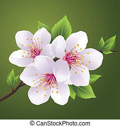 Blossomende Zweig der Schakura - Kirschbaum