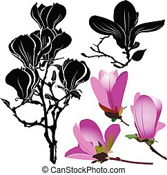 Blumen magnolia isoliert auf weißem Hintergrund.