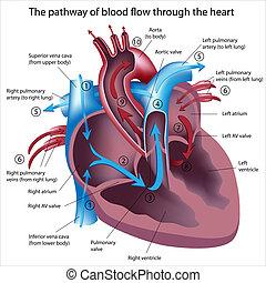 Blut fließt durch das Herz