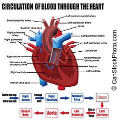 Blutkreislauf durchs Herz