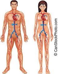 blutkreislauf, menschliche