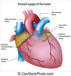 Blutversorgung ins Herz
