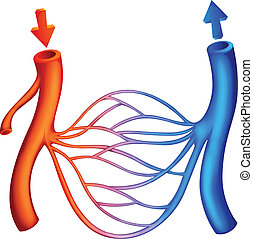 Blutzirkulation.