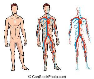 body., arteriell, abbildung, vektor, menschliche , venös, mann, system, zirkulierend, zirkulation, system., blut