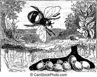 bombus, hummel, oder, engraving., weinlese, terrestris, nest, buff-tailed