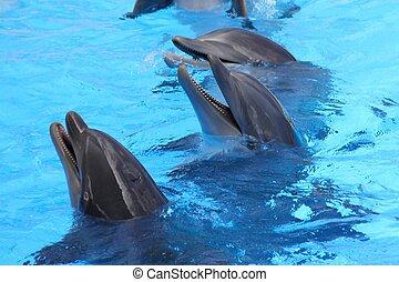Botllenose Delfine spielen