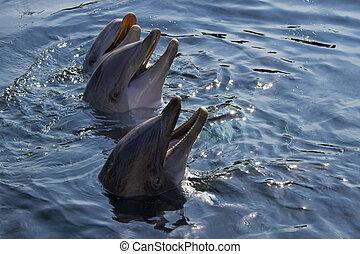 Bottlenose Delfine oder Tursiops truncatus