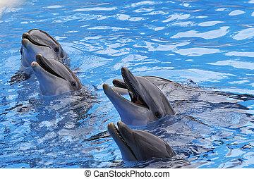 Bottlenose Delfine, Tursiops truncatus