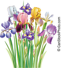 Bouquet von Irisblüte.