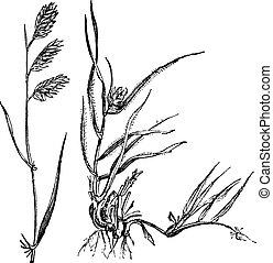 Bouteloua dactyloides oder Buffalograss, Gras (left) männlich, (Rechts) weiblich, klassische Gravur.