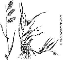 Bouteloua dactyloides oder Buffalograss, Gras, (links) männlich, (rechts) weiblich, Vintagegraving.