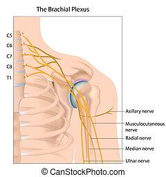 Brachialer Plexus, Eps10