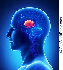 Brain BASAL GANGLIA Anatomie - Querschnitt.