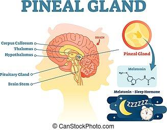 brains., abschnitt, kreuz, abbildung, anatomisches diagramm, drüse, vektor, menschliche , pineal
