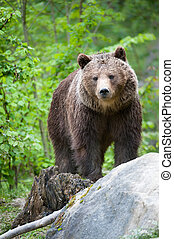 Brauner Bär