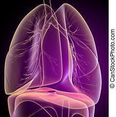 bronchi, ansicht, menschliche , lungen, röntgenaufnahme