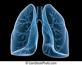 bronchi, lunge