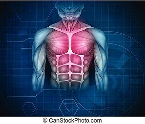 brust, muskeln, abdomen