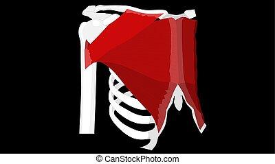 brustbild, schwarz, -, muskulös, didactic, brett, pectoralis, vektor, system., muskeln, muscle., hintergrund., menschliche brust, koerperbau, brust, abbildung, major, thorax, brisket