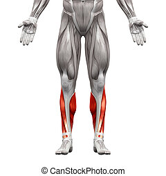 Calf Muscles - Anatomy Muscles isoliert auf weiß - 3D Illustration.