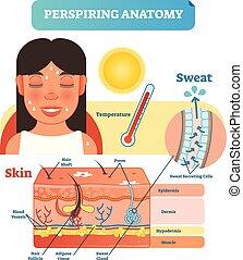 cells., schwitzen, abschnitt, kreuz, abbildung, anatomisches diagramm, vektor, schweißperlen, haut, secreting