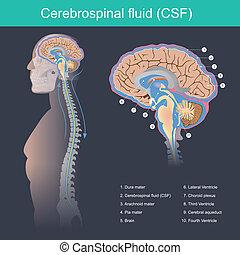 Cerebrospinalflüssigkeit.