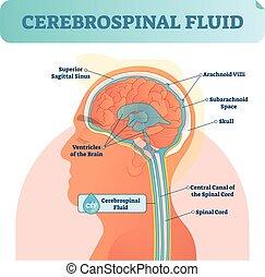 Cerebrospinalflüssigkeit Vektorgrafik. Anatomische Diagramme mit menschlicher überlegener sigittaler Sinus, Arachnoid Villi, Subarachnoid und Rückenmark Zentralkanal.