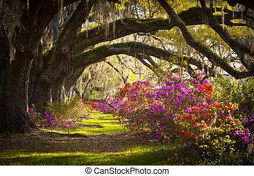 Charleston SC plantation live Eichen, spanische Mosalea Blumen blühende Frühlingsblüten.