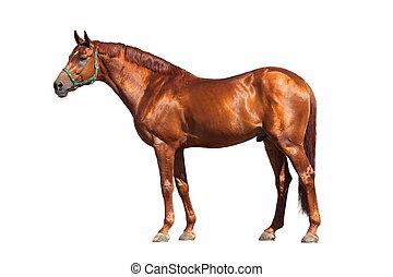 Chestnut Pferd isoliert auf weiß.
