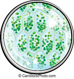 chlorophyll., pflanze, mikroskop, zellen, unter
