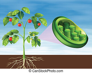 chloroplast, pflanze