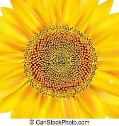 closeup, sonnenblume