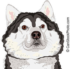 closeup, vektor, hund, rasse, alaskisch malamute, porträt