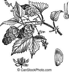 Common Hop oder Humulus lupulus Vintagegraving