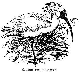 crested, vogel, ibis
