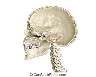 cross-section., sagittal, menschlicher schädel, mittler