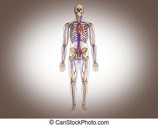 d, organs., rendering., 3, intern, digitaler mann, skelett