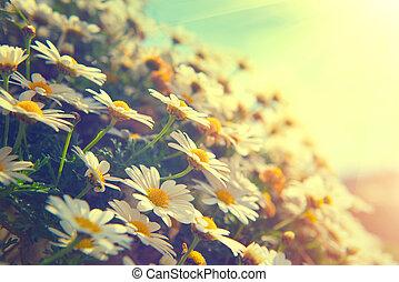 Daisy Blumen. Wunderschöne Naturszene mit blühenden Chamomiles