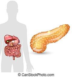 darm, silhouette, organe, milz, menschliche anatomie, intern, hintergrund, magen, gallenblase, weißes, bauchspeicheldrüse